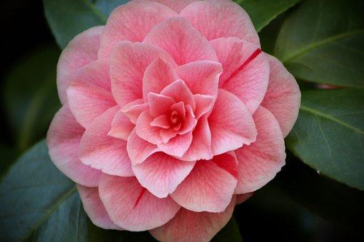 Camellia, Camellia Flower, Blossom, Bloom, Bloom