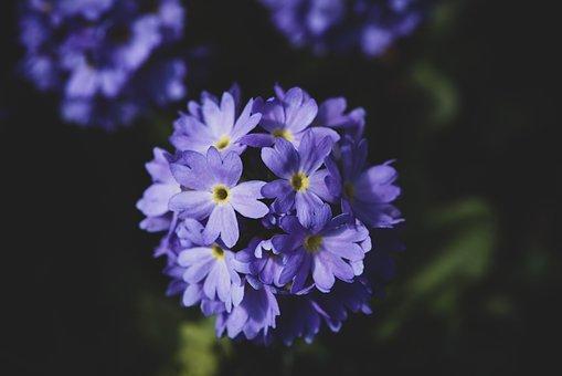 Primrose, Blue, Drumstick, Garden, In The Garden