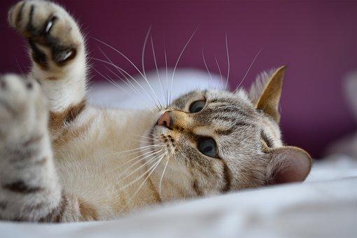 Cat, Eyes, Blue, Play, Portrait, Feline, Animals