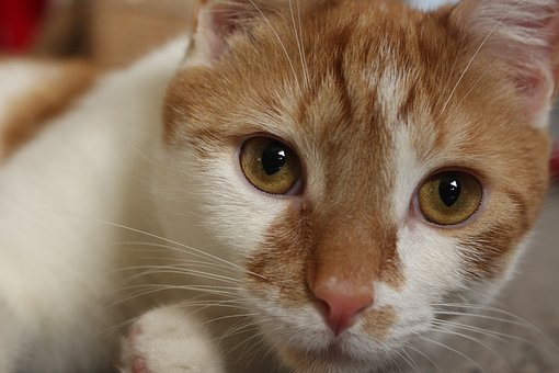 Cat, Kitten, Orange, Animal, Young, Feline, Cute, White