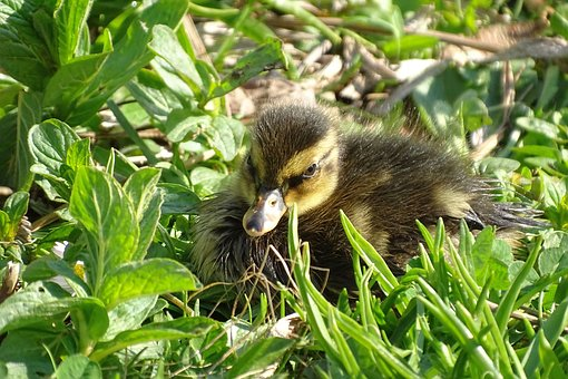 Ducklings, Fluffy, Cute, Plumage, Season, Morning