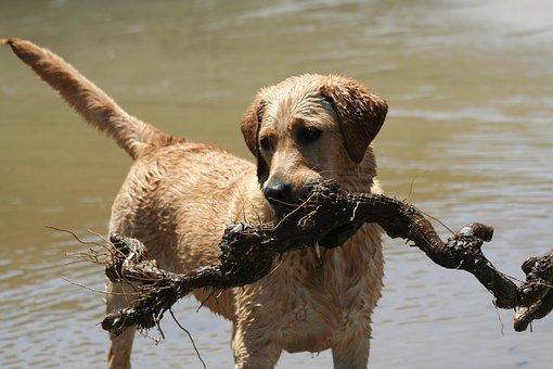 Labrador, Dog, Animal, Beach, Stick
