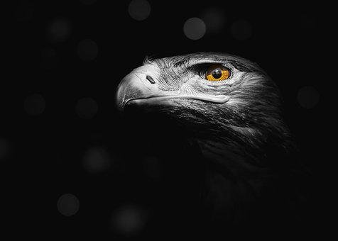 Eagle, Bird, Nature, Predator, Hawk, Falcon, Wildlife