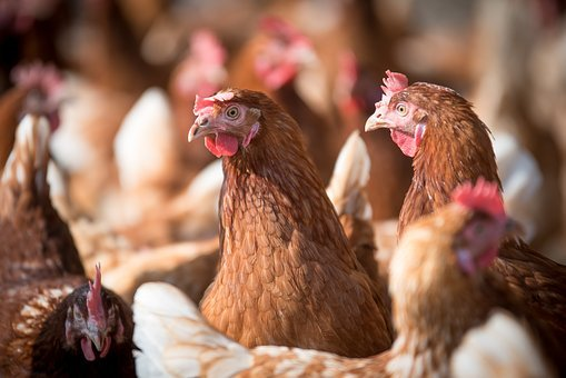 Laying Hens, Hen, Poultry, Chicken, Farm, Hens