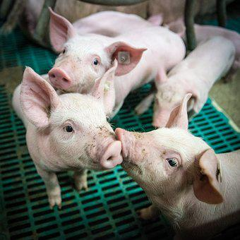 Piglet, Piglet Barn, Stall, Animal Husbandry, Farm