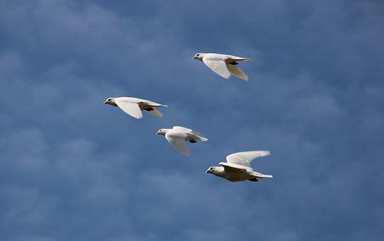 White Doves, Flying, Wedding, Sky, Blue, Love, Feather