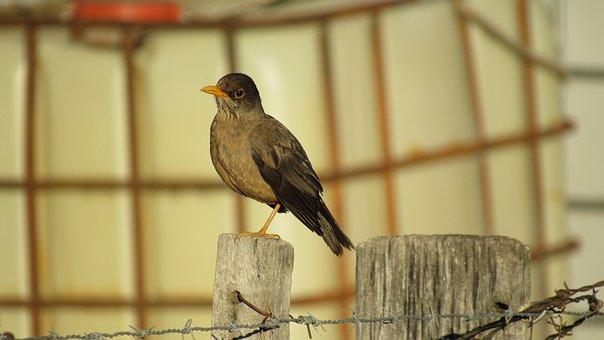 Fieldfare, Ave, Birds, Animal, Animals, Nature, Park