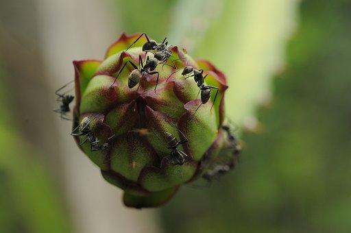 Ant, Black Ant, Flower Dragon Fruit, Green, Nature