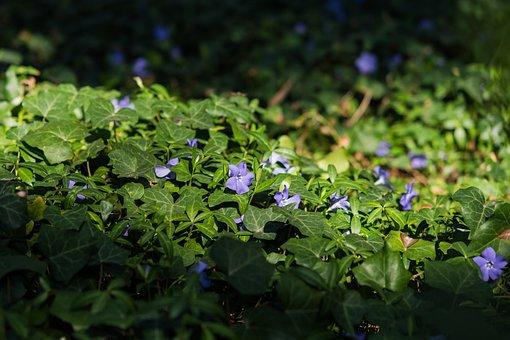 Periwinkle, Flower, Purple, Meadow, Forest, Light, Dusk