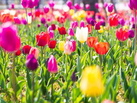 Tulip, Flowers, Yellow, Colorful, Flower Garden, Spring