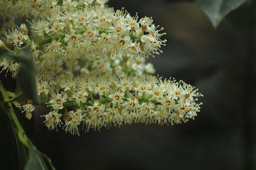 Laurel Rose, The Rose Laurel Flowers, Flowers, Bloom