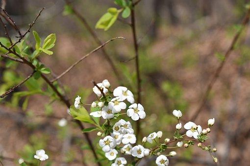 Meadowsweet Flower, Flowers, Nikon, Nikon Camera, Photo