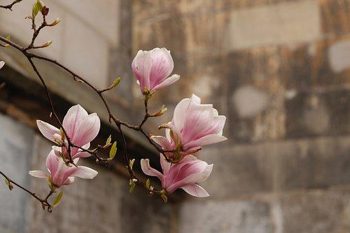 Magnolia, Bloom, Spring, Tree, Nature, Flowers, Bud