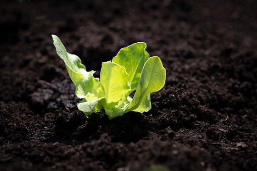 Lettuce Seedling, Salad, Seedling, Green, Garden