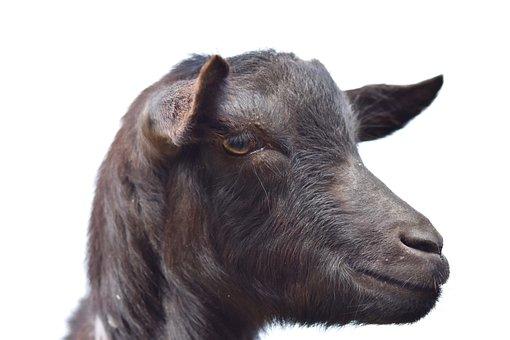 Goat, Portrait Profile Of Goat, Ruminant, Nature