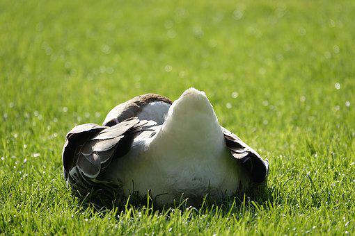 Goose From The Rear, Sunny, Morning, Meadow, Spring
