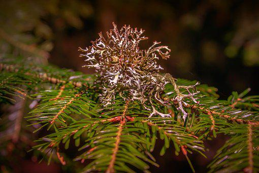 Weave, Conifer, Branch, Lichen, Healthy, Green, Nature