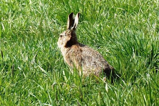 Haas, Pasture, Grass, Long Ears, Meadow, Spring