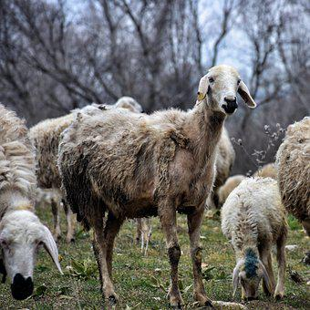Nature, Sheep, Animal, Chan, Rural, Lamb, Herd, Village