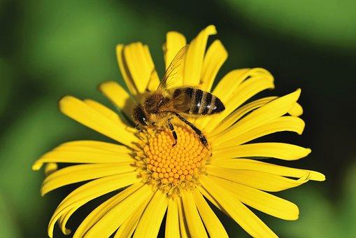 Bee, Honey Bee, Insect, Flower, Balkan-gemswurz