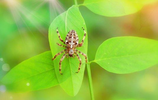 Crusader Garden, Female, Arachnid, Foliage, Insect