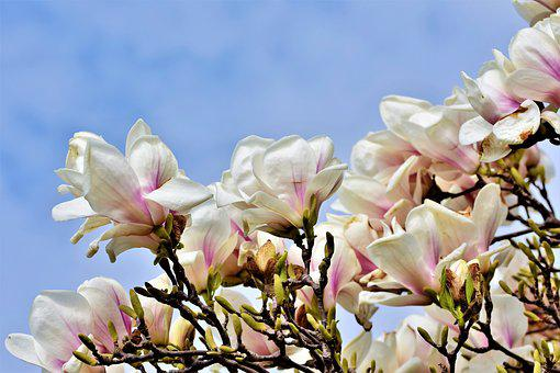 Magnolia, Magnolia Tree, Flowers, Magnoliengewaechs