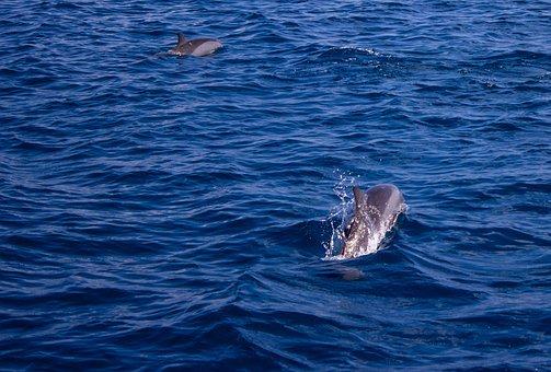 Dolphin, Sea, Water, Ocean, Dolphins, Mammal, Marine
