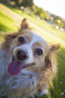 Chihuahua, Dog, Mix, Adorable, Cute, Long, Fur, Hair