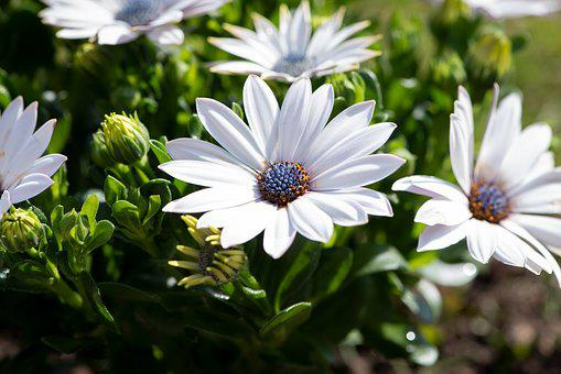 Cape Daisies, Flowers, Plant, Garden, Nature