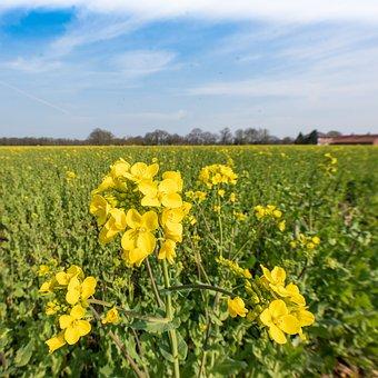 Agriculture, Oilseed Rape, Crop, Plant, Arable