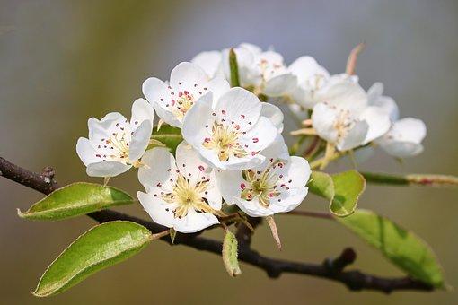 Pear, Blossom, Bloom, Pear Blossom, Fruit Tree