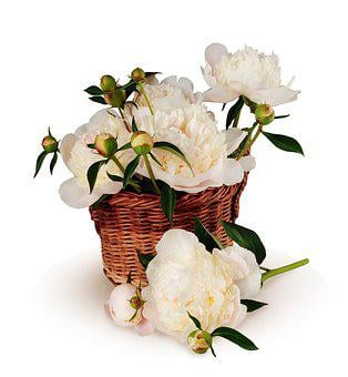 Peonies, Bouquet, Basket, Flowers, Big, Isolated