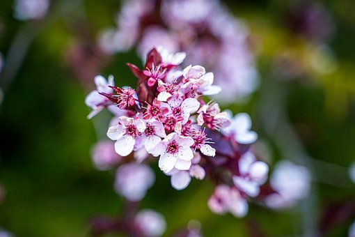 Cherry Blossoms, Flowering Twig, Branch, Flowers, Pink