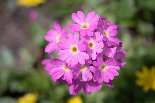 Primrose, Drumstick, Blossom, Bloom, Pink, Garden