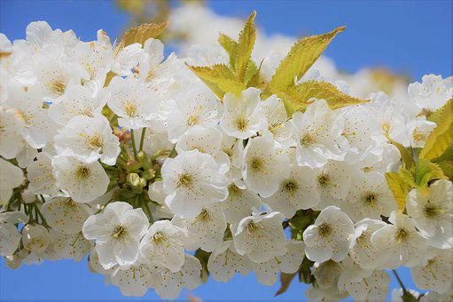Cherry, Japan, Flower, Spring, Flowering, Plant, Branch