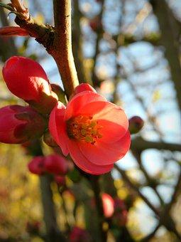 Ornamental Quince, Bill Quince, Quince, Blossom, Bloom