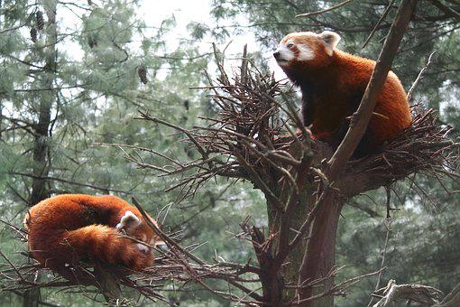 Red Panda, Panda, Central Park Zoo, Zoo, Cute, Animal