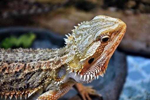 Bearded Dragon, Lizard, Sharp, Spurs, Reptile, Head