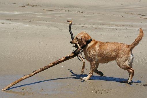 Labrador, Animal, Dog, Retriever, Beach, Stick