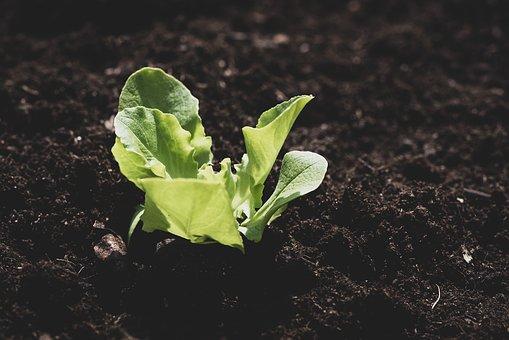 Lettuce Seedling, Seedling, Small, Salad, Garden