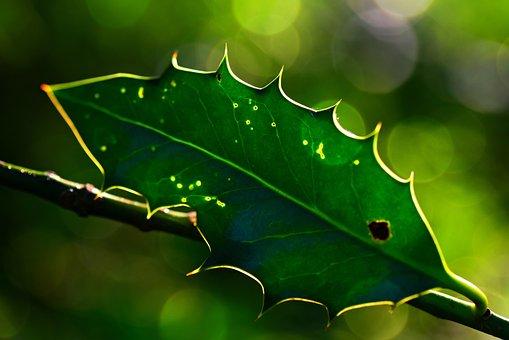 Holly Leaf, Plant, Branch, Shrub, Christmas, Seasonal