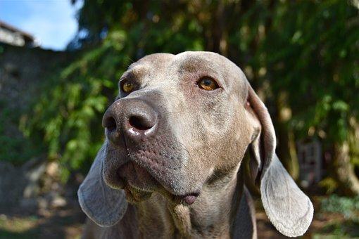 Dog, Braque, Weimar, Animals, Snout, Race, Head