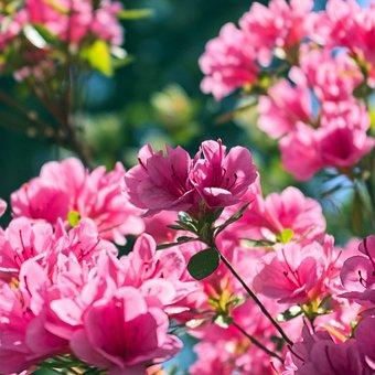 Azaleas In The Ozarks, Blossoms, Azalea, Bloom, Spring