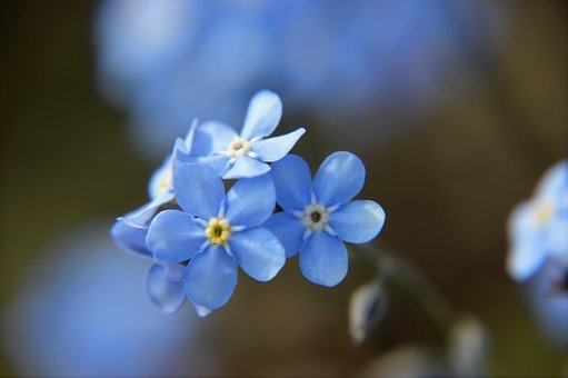 Myosotis, Blue, Flower, Spring, Flowering, Plant