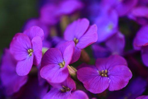 Aubrieta, Flowers, Purple, Plant, Ground Cover, Spring