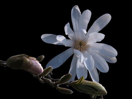 Magnolia, Star Magnolia, White Flower, Flower, Spring