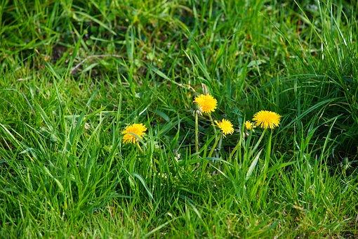 Dandelion, Meadow, Plant, Spring, Summer