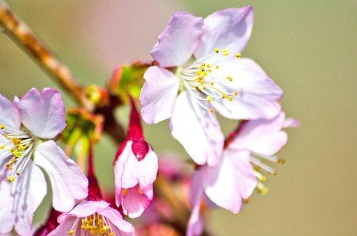 Cherry Blossom, Wild Cherry, Spring, Tree, Bud, Nature