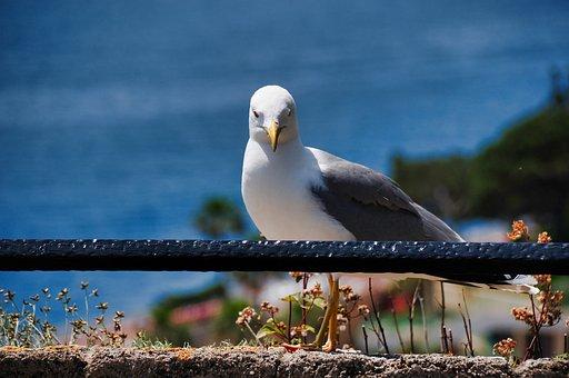 Seagull, Bird, Sea, Marin, Marine, Flight, Wings