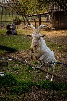 Animal, Ungulate, Goat, Billy Goat, Jump, Agile, Farm
